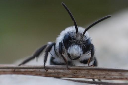 whitebee